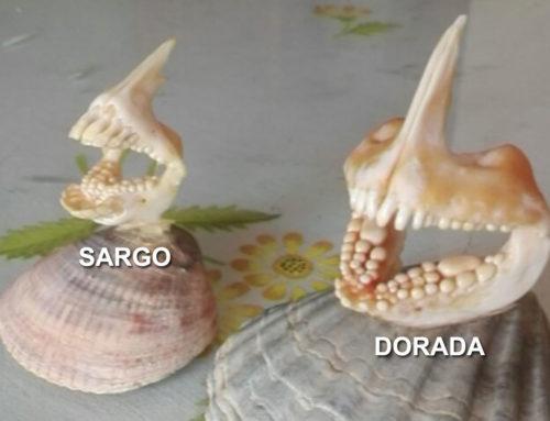 Dorada y Sargo potentes mandíbulas
