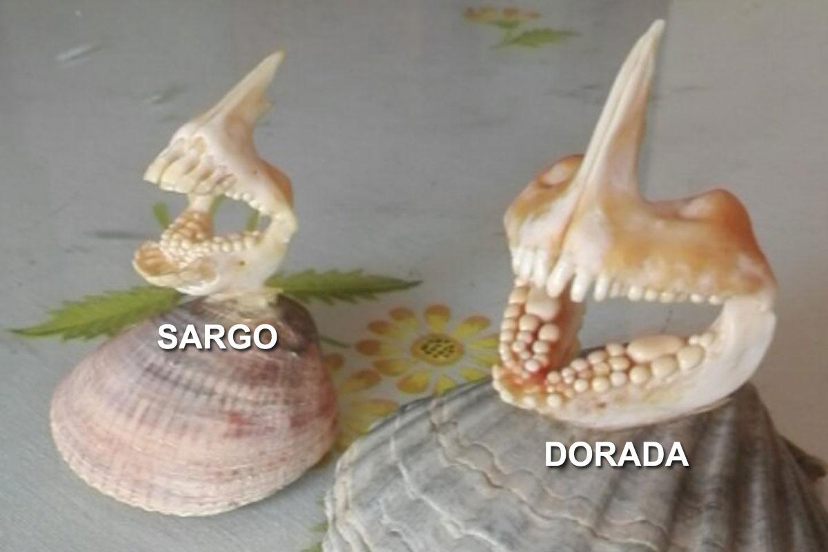 dorada y sargo mandibulas