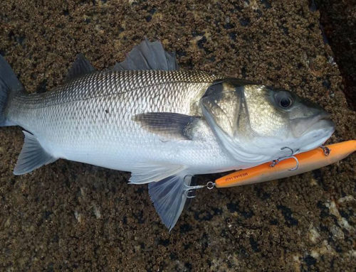 Galicia de Pesca Lubinas a Spinning